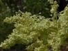 rabarbar-kwiat