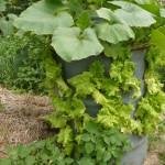 Uprawa roślin w beczce